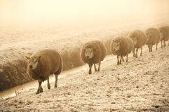 Winter Sheep. Row of walking sheep on a misty winter morning Stock Image