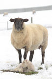 Winter Sheep. Ewe and Lamb during a winter storm in the Umpqua Valley near Roseburg Oregon royalty free stock photography