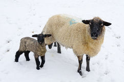 Winter Sheep. Ewe and Lamb during a winter storm in the Umpqua Valley near Roseburg Oregon stock photos