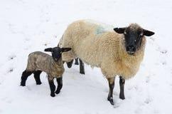 Winter Sheep Stock Photos