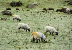 Winter and sheep Royalty Free Stock Photography