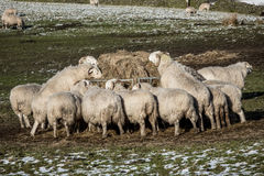 Winter Sheep Feeding Stock Photography