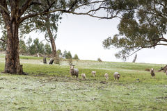 Winter Sheep. Sheep in fields during winter with a fresh dusting of snow Royalty Free Stock Images