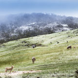Winter Sheep. Sheep in fields during winter with a fresh dusting of snow on the mountains Royalty Free Stock Photo