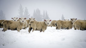 Winter sheep Royalty Free Stock Photos