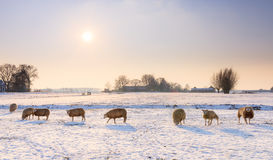 Winter sheep Stock Image