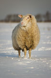 Winter sheep in snow. Sheep standing in a snowy winter meadow, beautifully lit in soft morning light Stock Image