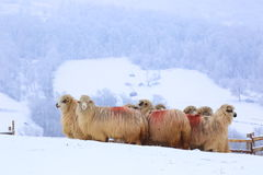 Winter sheep in snow. Inside a playpen Royalty Free Stock Photos