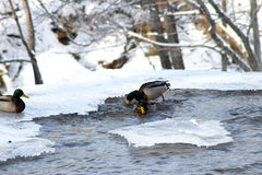 Winter Shoot. Ducks playing in icy water Stock Photography