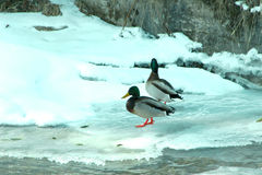 Winter Shoot. Ducks in waterfall playing icy water Royalty Free Stock Images