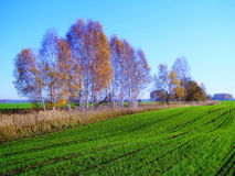 Winter shoots. Brightly turned green in the field of the farmer in the fall Royalty Free Stock Photo