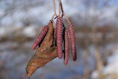 Winter shoots. Hibernating tree seeds waiting on springs arrival Royalty Free Stock Images