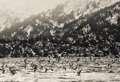 Winter Shorebirds in Flight. Shorebird in flight in the Kachemak Bay in Alaska in winter in black and white Royalty Free Stock Photos