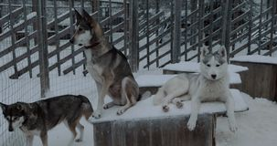 Two husky dogs on the kennel in cage. Winter shot of two husky on kennel in open-air cage. One dog lying while another is on guard stock footage