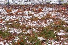 Winter shrub Royalty Free Stock Photography