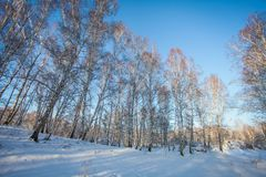 Winter in Siberia. birch grove in the snow at sunset royalty free stock photos