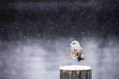 Winter silence. Bird on a cold winter day Royalty Free Stock Photography