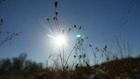 Winter silhouette dry grass in the snow field landscape snow nature royalty free stock image