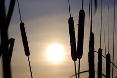 Winter silhouettes of plants cattails against the background of the setting sun winter sky winter period Stock Photos