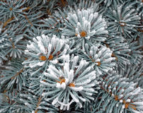 Winter silver spruce tree covered with snow Royalty Free Stock Images