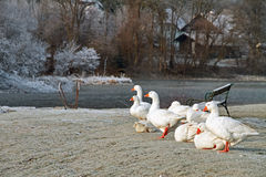 Winter sketch with geese Royalty Free Stock Image