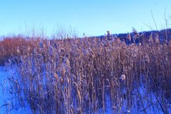 Reed. Winter sketches snowy herbaceous perennial with a stem - cylindrical in shape, with scaly leaves. Corymbose-paniculate inflorescence, less often compressed Royalty Free Stock Photos