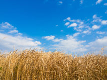 Winter sky and dried grass in winter Royalty Free Stock Photos