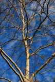 Winter Sky and Tree. Looking up at a winter sky through a tree Stock Photography