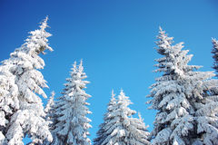 Winter sky and trees background Stock Photography