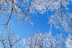 Winter skyscape. With blue bright sky and frosty trees Royalty Free Stock Images