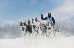 Winter sled dog race in the wonderful winter landscape in the background is blurred guide dogs. Winter Sled dog racing on the circ Stock Photography