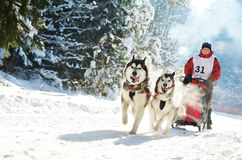 Winter Sled dog racing � musher and Siberian husky. Sled dog racing � musher dogteam driver and Siberian husky at snow winter competition race in forest Stock Photography