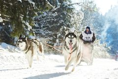 Winter Sled dog racing musher and Siberian husky Royalty Free Stock Photography