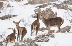 A group of Red Deer Stock Photo