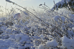 Winter. Small twigs covered with snow on a cold morning Royalty Free Stock Image