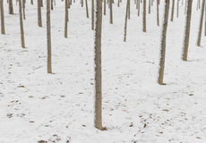 Winter small woods Royalty Free Stock Photo