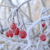 Winter snow-ball-tree Royalty Free Stock Image