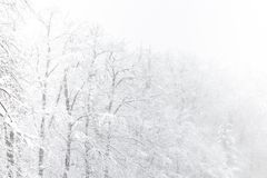 Winter snow blizzard in tree forest. As nature danger weather disaster storm concept background Royalty Free Stock Photography