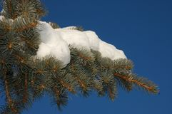 Winter snow and blue skies. Winter snow on pine tree branch with blue skies Royalty Free Stock Image
