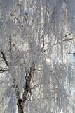 Winter snow branches of tree on a blue sky Royalty Free Stock Photo