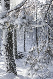 Winter snow clad trees in Scotland. Winter snow clad trees in Bunzeach forest at Strathdon in Aberdeenshire, Scotland Stock Image
