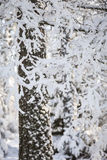 Winter snow clad trees in Scotland. Winter snow clad trees in Bunzeach forest at Strathdon in Aberdeenshire, Scotland Royalty Free Stock Images