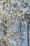 Winter snow clad trees in Scotland. Winter snow clad trees in Bunzeach forest at Strathdon in Aberdeenshire, Scotland Royalty Free Stock Photo