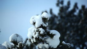 Winter snow coating top of tree. Video of winter snow coating top of tree stock video footage