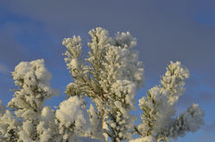 Winter. Snow cover down pine green branches Stock Images