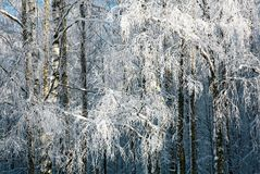 Winter snow covered birch branches Stock Photos