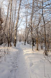 Winter snow covered birch forest Royalty Free Stock Photo