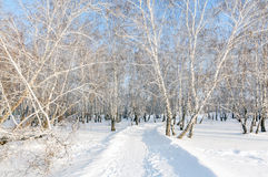 Winter snow covered birch forest Stock Photo