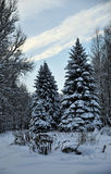 Winter snow covered fir Stock Photography