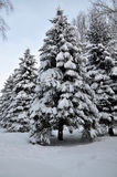 Winter snow covered fir Royalty Free Stock Images